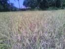 ಕುಸಿಯುತ್ತಿದೆ ಭತ್ತದ ಬೆಳೆ: ಕೇರಳ ಮಾದರಿ ಪ್ಯಾಕೇಜ್ ನಿರೀಕ್ಷೆ
