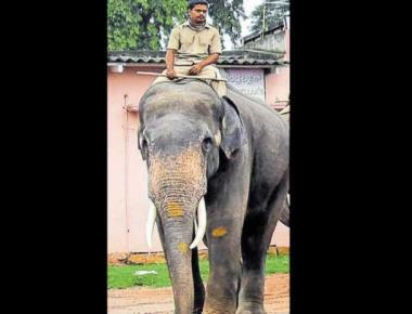 Bheema may be groomed to succeed Arjuna as howdah elephant