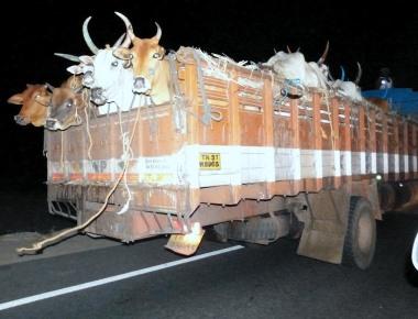 Christian Community Coalition condemns cow politics - demands action on Rajasthan BJP MLA Gyan Dev Ahuja