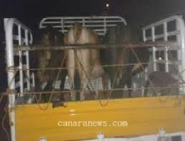 13 cattle rescued by police
