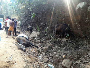 Cattle smuggling vehicle meets with accident