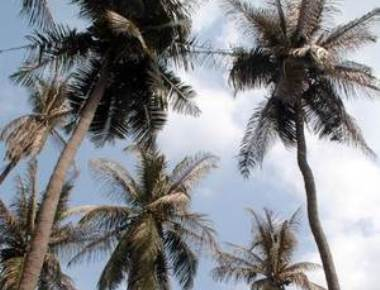 Revival package for owners of coconut plantations