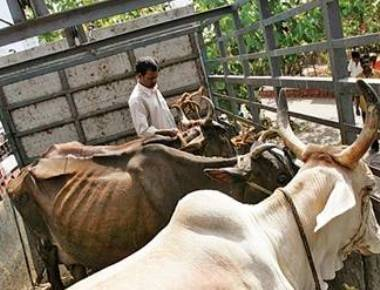 Illegal slaughterhouse raided in Shirva