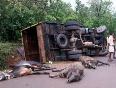 Four cows die after lorry topples