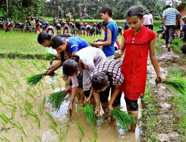 Students get a taste of planting paddy saplings