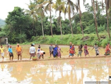 St Lawrence Church Vijayadka organizes paddy cultivation programme