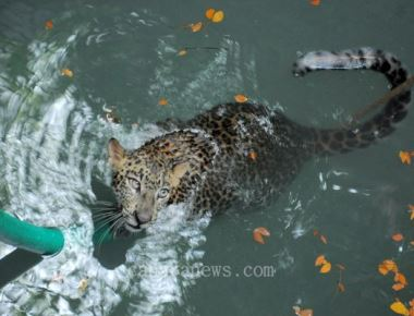 Leopard dies after falling into open well