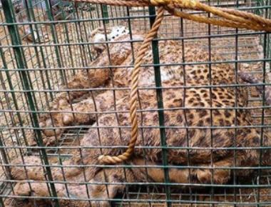 Leopard rescued near Manipura