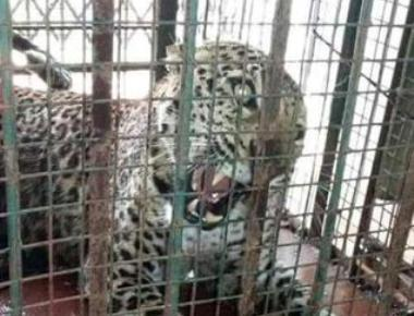 Leopard enters house; dog killed