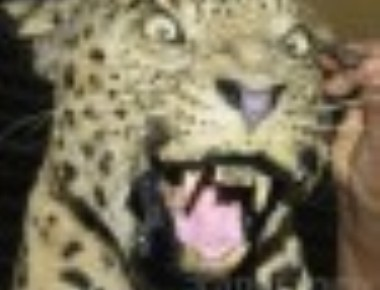 Leopard dies after getting hit by vehicle