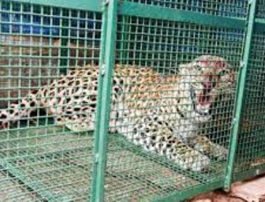 Leopard kills cow in Kallabettu grama