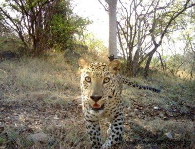 Study finds 2,500 leopards in Karnataka
