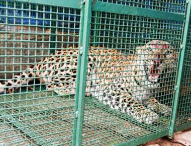 4-year-old leopardess rescued in Udupi