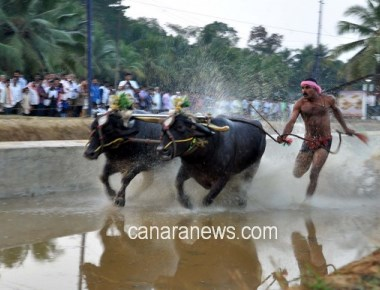 Kambala, Jallikattu may make comeback