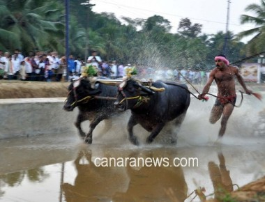 After jallikattu, it is kambala's turn
