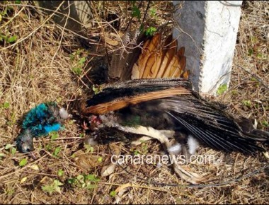 Peacock dies in road accident at Ekkur