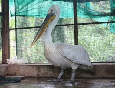 Dalmatian pelican arrives at Pilikula Biological Park