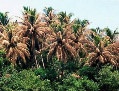 Coconut palms hit by black-headed leaf eating caterpillar